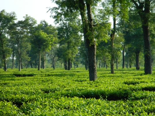 Tea Garden of Dibrugarh Assam